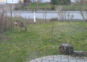Reh im Garten